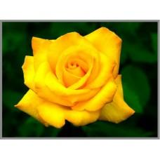 N-126 Картина (Желтая роза) Алмазная мозаика 27x20см, 21 цвет