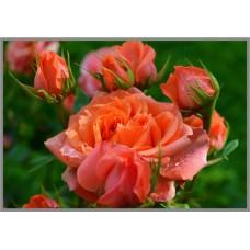 NR-58 Картина (Королева сада) Алмазная мозаика 29.5x20.5см, 25 цветов