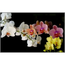 R-927х Картина (Орхидеи) Алмазная мозаика 50x31см, 34 цвета