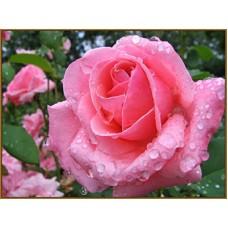 N-286х Картина (Роза после дождя) Алмазная мозаика 26x20см, 22 цвета